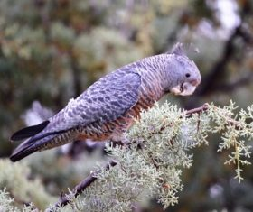Australian Grey Parrot Stock Photo