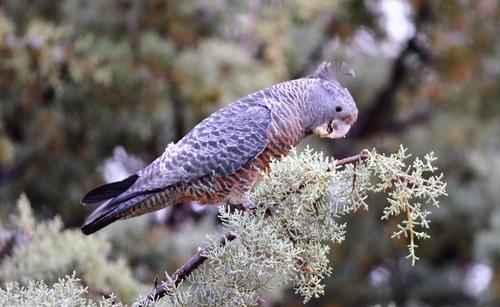 Australian Grey Parrot Stock Photo