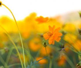 Beautiful Galsang flower Stock Photo