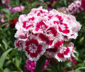 Beautiful colorful Dianthus flower Stock Photo