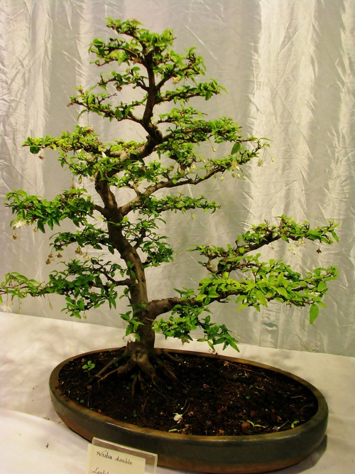 Beautiful green plant bonsai Stock Photo 02