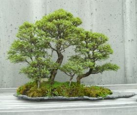 Beautiful green plant bonsai Stock Photo 03
