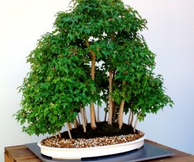 Beautiful green plant bonsai Stock Photo 05