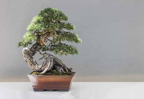 Beautiful green plant bonsai Stock Photo 08
