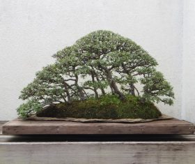 Beautiful green plant bonsai Stock Photo 09
