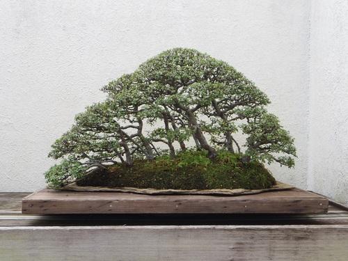 Beautiful green plant bonsai Stock Photo 09