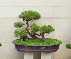 Beautiful green plant bonsai Stock Photo 11