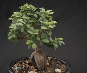Beautiful green plant bonsai Stock Photo 12
