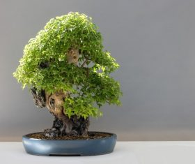 Beautiful green plant bonsai Stock Photo 13