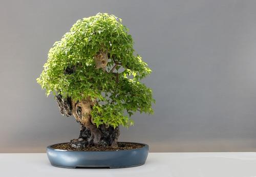 Beautiful green plant bonsai Stock Photo 13