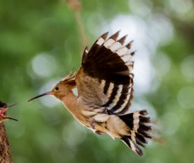 Beautiful hoopoe bird Stock Photo 01