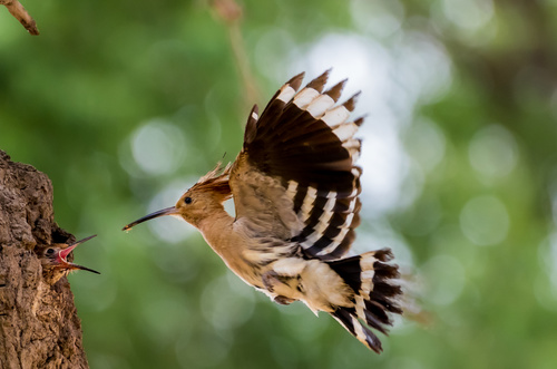 Beautiful hoopoe bird Stock Photo 01