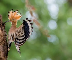 Beautiful hoopoe bird Stock Photo 02