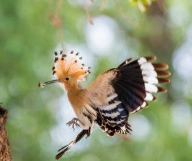 Beautiful hoopoe bird Stock Photo 03