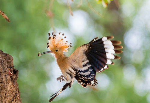 Beautiful hoopoe bird Stock Photo 03