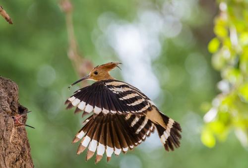 Beautiful hoopoe bird Stock Photo 04