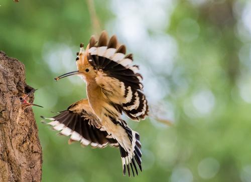 Beautiful hoopoe bird Stock Photo 05