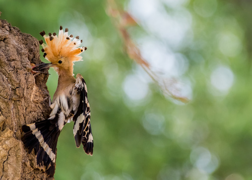 Beautiful hoopoe bird Stock Photo 06