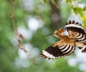 Beautiful hoopoe bird Stock Photo 07