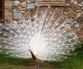 Beautiful white peacock Stock Photo 01