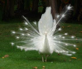 Beautiful white peacock Stock Photo 03