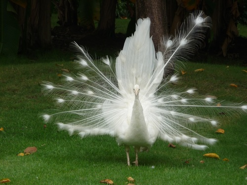 Beautiful white peacock Stock Photo 03