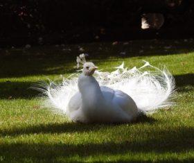 Beautiful white peacock Stock Photo 05