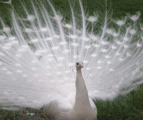 Beautiful white peacock Stock Photo 06