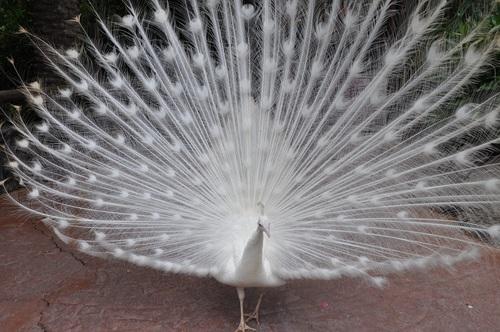 Beautiful white peacock Stock Photo 07
