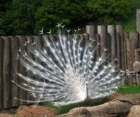Beautiful white peacock Stock Photo 08