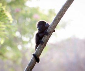 Black monkeys on trees Stock Photo 01