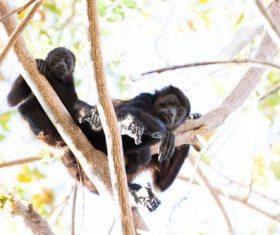 Black monkeys on trees Stock Photo 02