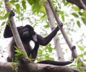 Black monkeys on trees Stock Photo 03