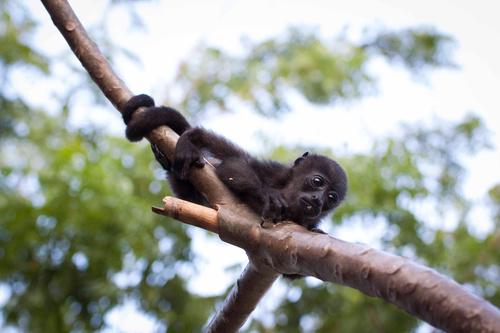Black monkeys on trees Stock Photo 04