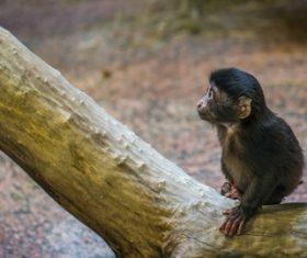 Black monkeys on trees Stock Photo 05