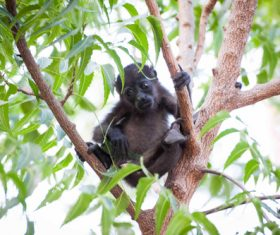 Black monkeys on trees Stock Photo 06