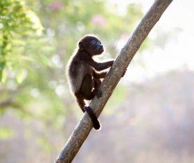 Black monkeys on trees Stock Photo 07