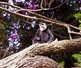 Black monkeys on trees Stock Photo 08