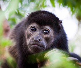 Black monkeys on trees Stock Photo 09