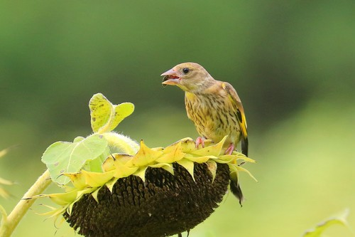 Carduelis sinica Stock Photo 05