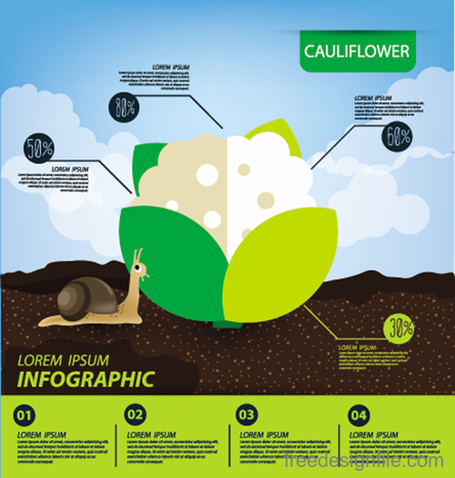 Cauliflower infographic template vector material