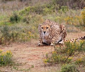Cheetah predation Stock Photo