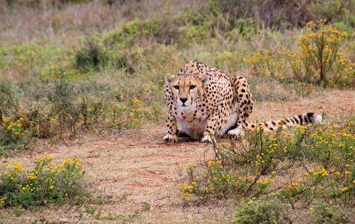 Cheetah predation Stock Photo