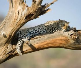 Cheetah resting on the tree Stock Photo