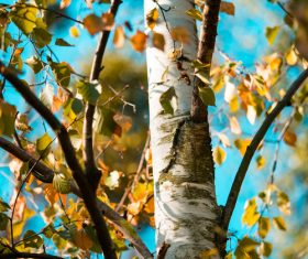 Close up of Birch Tree Stock Photo
