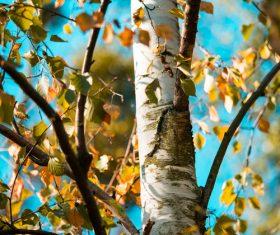 Close up of Birch Tree Stock Photo