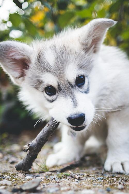 Cute husky puppies Stock Photo