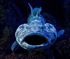 Deep sea blue bigmouth fish Stock Photo