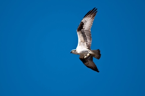 Eagle spread wings to fly Stock Photo 05