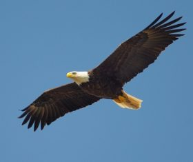 Eagle spread wings to fly Stock Photo 11